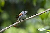 Mascarene paradise flycatcher (Terpsiphone bourbonnensis) female on a branch, Reunion Island