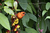 Madagascar Red Fody (Foudia madagascariensis) male eating Thunbergia (Thunbergia mysorensis) flowers, Reunion Island