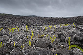 Colonization of lavas by lichens and ferns, Lava Flow, Le grand brulé, Reunion Island