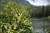 Angel's-tears (Brugmansia suaveolens), Mare à poule d'eau, Réunion island