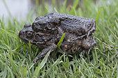 Guttural Toad (Bufo gutturalis) mating, Reunion Island