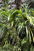 Cordyline (Cordyline mauritiana), Belouve forest, Reunion island