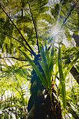Ribbon fern (Lepisorus excavata), Belouve forest, Reunion island