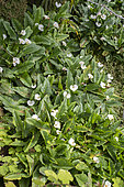 Arum lily (Zantedeschia aethiopica), invasive, Bélouve Forest, Reunion Island