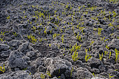 Fern (Nephrolepis abrupta) and Lava lichen (Stereocaulon vulcani) on lava, Reunion Island