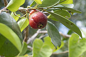 Strawberry Guava (Psidium cattleyanum), Reunion Island
