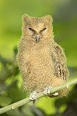Philippine Scops Owl (Otus megalotis) chick perched on a branch, Quezon, Philippines