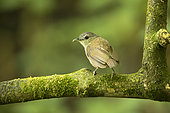 Horsfield's Babbler (Malacocincla sepiaria) perched on mossy trunk, East Java, Indonesia