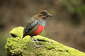Whiskered Pitta (Erythropitta kochi) male perched on mossy stone, Quezon, Philippines