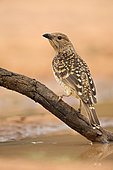 Spotted Bowerbird (Chlamydera maculata) perched on a branch, Queensland, Australia