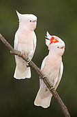 Major Mitchell's Cockatoo (Lophochroa leadbeateri) perched on a branch, Queensland, Australia