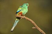 Mulga Parrot (Psephotellus varius) male perched on a branch, Queensland, Australia