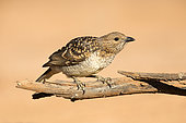 Spotted Bowerbird (Chlamydera maculata) male perched on a branch, Queensland, Australia