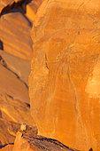 Sand Partridge (Ammoperdix heyi) male, Israel