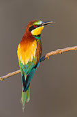 European Bee-eater (Merops apiaster) perched on a branch, Pleven, Bulgaria