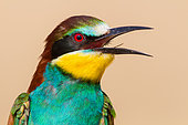 European Bee-eater (Merops apiaster) calling from a branch, Pleven, Bulgaria