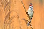 Great Reed Warbler (Acrocephalus arundinaceus) male singing in reedbed, Vienna, Austria