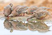 Chukar Partridge (Alectoris chukar) group drinking at waterhole, HaDarom, Israel
