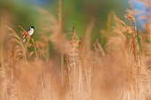 Common Reed Bunting (Emberiza schoeniclus) male perched in reedbed, Burgenland, Austria