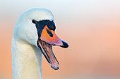 Mute Swan (Cygnus olor), Baden-Wuerttemberg, Germany
