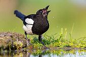 Eurasian Magpie (Pica pica) drinking at waterhole, Rhineland-Palatinate, Germany