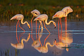 Greater Flamingo (Phoenicopterus roseus) group foraging in shallow water, Lesvos, Greece