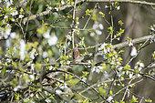 Dunnock (Prunella modularis) bringing material to build its nest, Lorraine, France