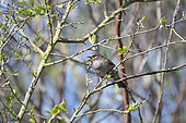 Dunnock (Prunella modularis) male singing, Lorraine, France