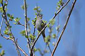 Dunnock (Prunella modularis) male singing, Lorraine, France