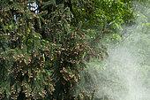 Spruce (Picea abies) pollen release, Lorraine, France