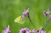 Brimstone (Gonepteryx rhamni) male on flower, Dombes, France
