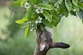 Chevreuil (Capreolus capreolus) chevrette mangeant des feuilles de cognassier sous la pluie, Lorraine, France