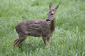 Roe deer (Capreolus capreolus) female moulting in a meadow after a shower, Lorraine, France
