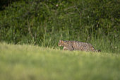 Forest cat (Felis silvestris) walking in a meadow, Lorraine, France