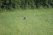 Forest cat (Felis silvestris) sitting in a meadow, Lorraine, France