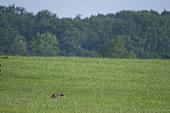 Forest cat (Felis silvestris) in a meadow, Lorraine, France
