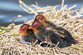 Common Coot (Fulica atra) young at nest, Baie de Somme, France