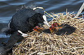 Common Coot (Fulica atra) feeding young at nest, Baie de Somme, France