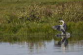 Gray Heron (Ardea cinerea) at the water's edge, Baie de Somme, France