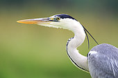 Portrait of Gray Heron (Ardea cinerea) adult, France