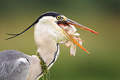 Gray Heron (Ardea cinerea) adult with a fish in the beak, France