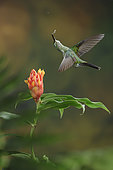 This is one of my favorite hummingbird photos that I have in my collection. It's taken using a technique called multiple-flash that is quite popular but difficult to do well. The hardest thing is to make the flash lighting look natural. Careful placement of my flashes gave a completely natural look to this picture of a Green-crowned Brilliant visiting a Costus flower in the Costa Rican highlands.
