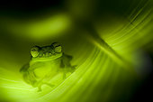 Emerald glass frog (Centrolenella prosoblepon) on a Heliconia leaf at night, Costa Rica