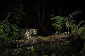 Margay (Leopardus wiedii) night photograph, San José, Costa Rica