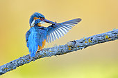 Common Kingfisher (Alcedo atthis) male preening on a branch, Andalusia, Spain
