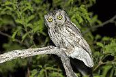 Western Screech-Owl Megascops kennikottii Tucson, Pima County, Arizona, United States 13 April Adult Strigidae