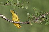 American Yellow Warbler (Setophaga aestiva), Texas, USA