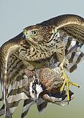 Sharp-shinned Hawk (Accipiter striatus) immature flying with male Northern Bobwhite (Colinus virginianus) prey in claws, Texas, USA