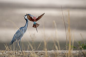 Black-headed heron (Ardea melanocephala) and Southern Carmine Bee-eater (Merops nubicoides), attack, South Luangwa, Zambia