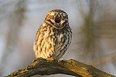 Little Owl (Athene noctua) yawning, sitting on tree branch, Emsland, Lower Saxony, Germany, Europe